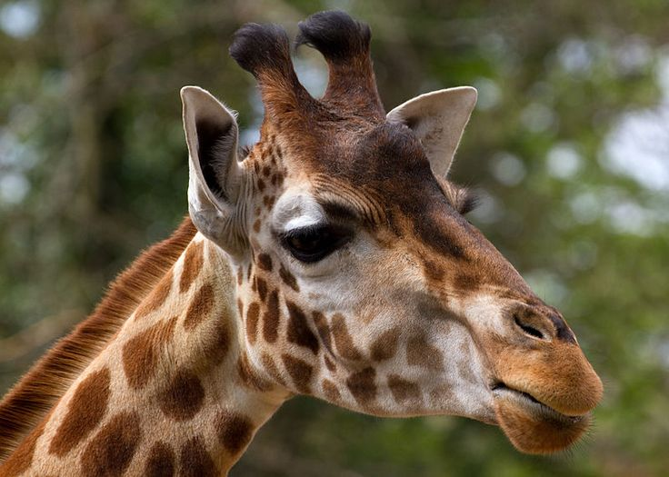 Giraffes are disappearing due to poaching, habitat loss, and overhunting. Urge policymakers to act now to save this iconic species. Save them from extinction. Sign and share the petition, thank you!