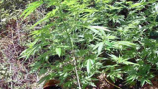 Άρτα: Καλλιεργούσε κάνναβη στο χωράφι του