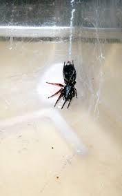 Image result for white tail spider bite