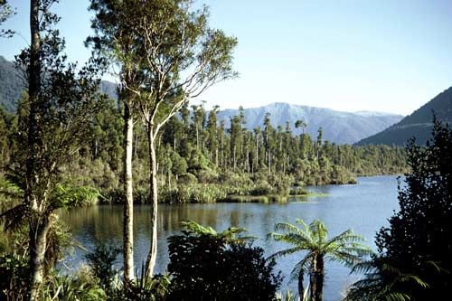 Swamp fores This fine stand of kahikatea fringes the shore of Lake Paringa, South Westland. Kahikatea is New Zealand's tallest tree, reaching 60 metres in height. It forms dense forests on swampy ground, but will grow in fertile hill country up to an altitude of 700 metres.