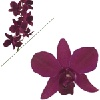 """Red Bul Dendrobium"""