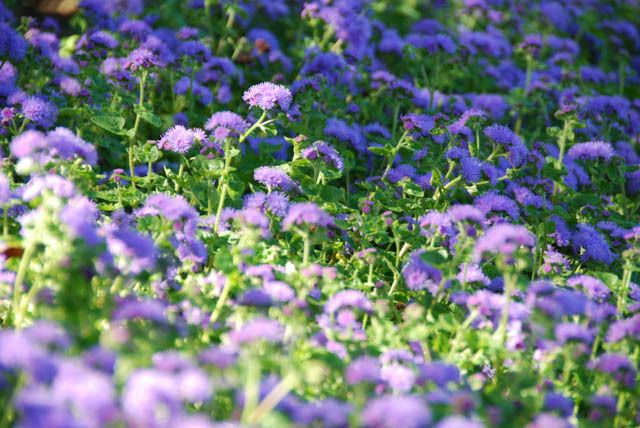 Floss Flower Ageratum Houstonianum Ageratum Blue Horizon Ageratum Blue Danube Purple Garden Plants Annual Flowers
