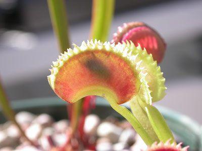 Venus Flytrap Care Guide - Carnivorous Plants for Sale!