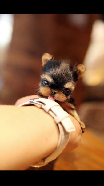Tori micro puppy sold by Betty's Tea Cup Yorkies. Will be 1 1/2 - 2 lbs grown. So tiny! I want one so bad!!! <3