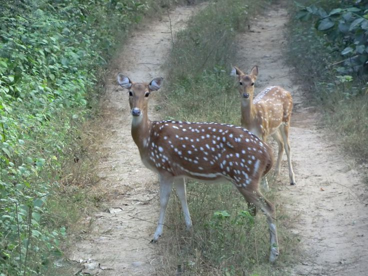 Spotted Deers at Jim Corbett National park
