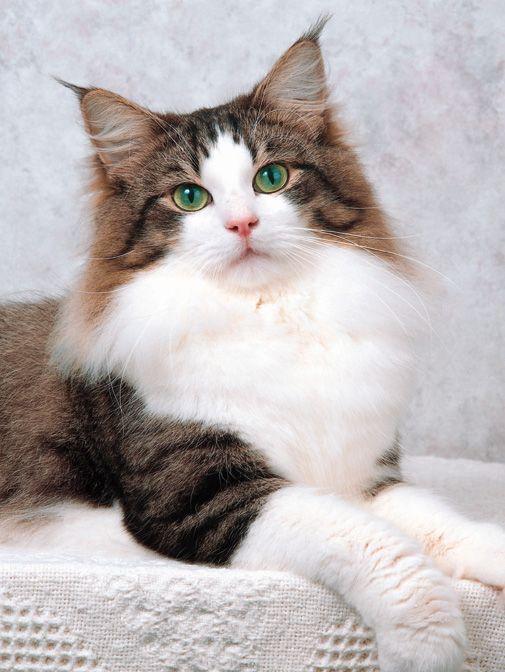 Norwegian Forest Cat: The Maine, Beautiful Cat, Cat History, Pet, Norwegian Forests Cat, Maine Coon Cat, Kittens, Green Eye, Animal