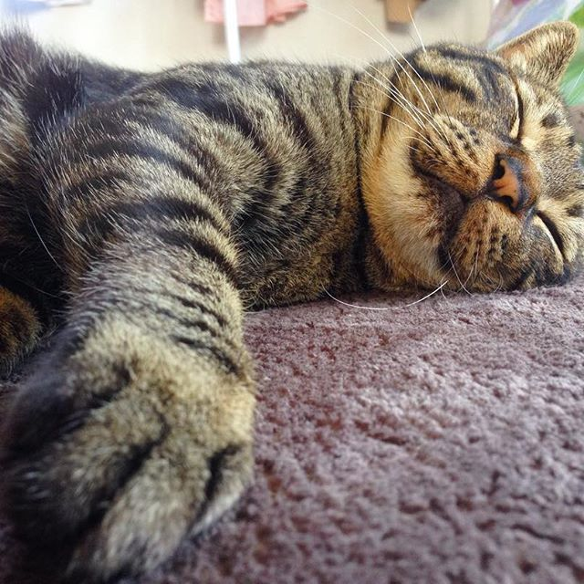 ・ 明日は夢の国😸🎪💗 おやすみなさ〜〜い! #愛猫#猫#ねこ#ネコ#ネコ部#にゃんこ#にゃんすたぐらむ#ねこすたぐらむ #ねこ部#ふわもこ部 #ぺこねこ部 #ねこばか#ねこのいる生活 #ねこ好き#みんねこ#可愛い#猫バカ#猫バカ部#にゃんだふるらいふ#きじとらねこ#cat#cats#catsofinstagram#catslover#catsagram#ilovecats#catslover#catslovers#cute#ilovecats#lovely#sleep