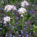 Wiesenschaumkraut Cardamine pratensis 4-5, mj, HS-Sonne, feucht, Wiesenblume, verwildert durch Selbstaussaat,   http://www.gartendatenbank.de/wiki/cardamine-pratensis  ähnlich: weiße Sand-Schaumkresse (Arabidopsis arenosa subsp. arenosa  - syn. Cardaminopsis arenosa), ein weißer Kreuzblütler, Ruderalpflanze, verwildert teilweise zu Massenbeständen in Rasen- und Wiesenflächen. Zweijährig.