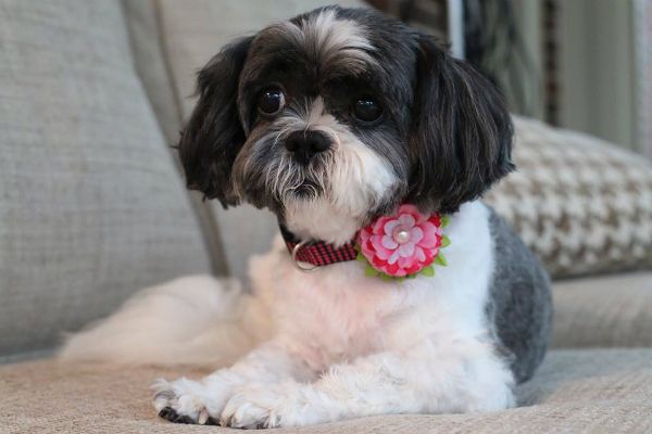 Like Colwyn, Murphy's Macy is a puppy mill rescue.