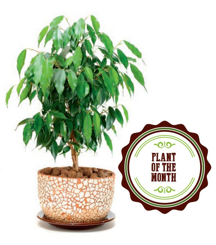 Indoor plants CAN PURIFY THE AIR WEEPING  FIG / BENJAMIN'S FIG / FICUS TREE (Ficus benjamina)   This plant is one of the world's most popular indoor plants that helps eliminate harmful chemicals from indoor air. It is effective at getting rid of chemicals like formaldehyde, xylene and benzene. It grows well in a bright room, with a little direct, morning sun. Water the plant regularly to keep the soil moist, but make sure roots are drained and not sitting in moisture for too long. It also…