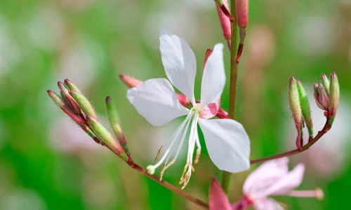 Lindheimer του Beeblossom, Gaura Lindheimeri, ανθεκτικές στην ξηρασία πολυετή φυτά, Λευκό Gaura, λευκά λουλούδια, ελάφια ανθεκτικό πολυετή, αλάτι ανεκτική πολυετή