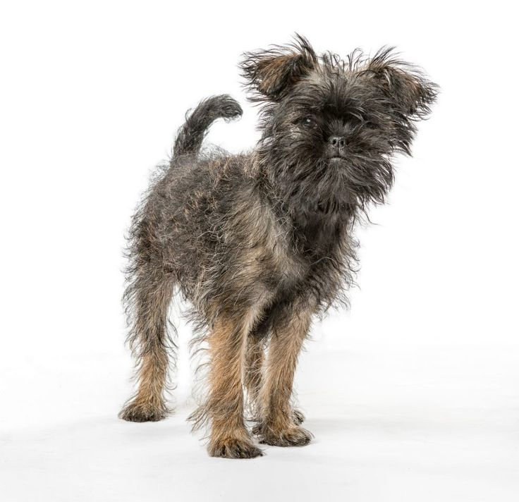 アーフェンピンシャー Scruffy dogs, Affenpinscher puppy