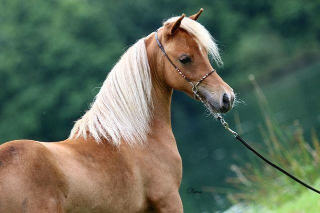FB: SSF A Gift of Joy to Remember  American Miniature Horse filly portrait equine mare caballo pferd AMH amha