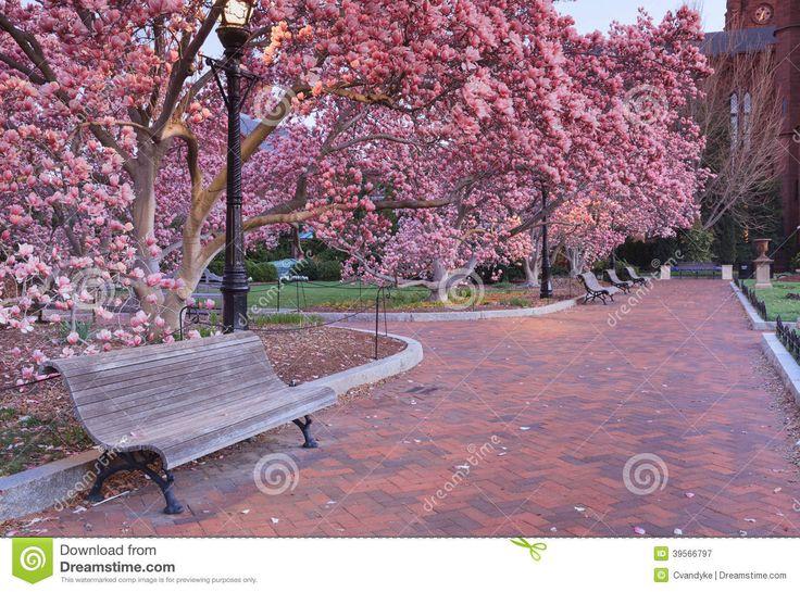 giardino rosa con gli alberi di magnolia in fiore