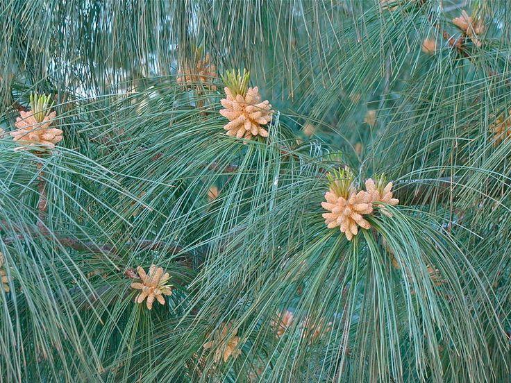 Himalayan white pine (Pinus wallichiana): White Pine