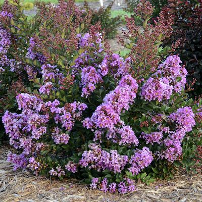 Phoenix Perennials - Nursery - Plant Display - Lagerstroemia Barista 'Bubble Tea' - Crape Myrtle