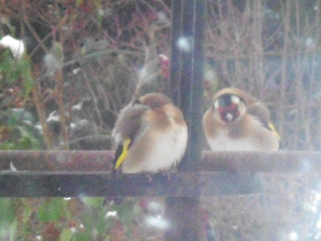 Two Goldfinches roosting together by the feeders.  Picture taken by Abbey Kaos.