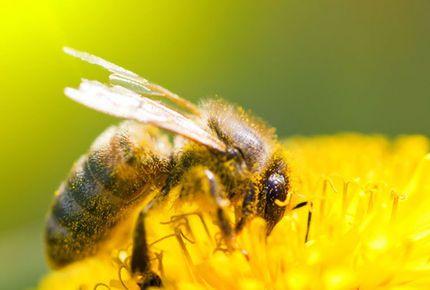 Specialistii in apiterapie spun ca o intepatura cu venin de albine distruge trei mii de celule canceroase