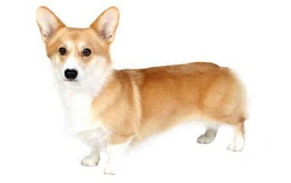 Cardigan Welsh Corgi Corgi Dog For Sale Types Of Corgis