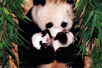 Panda Mother and Baby  Facts about Pandas