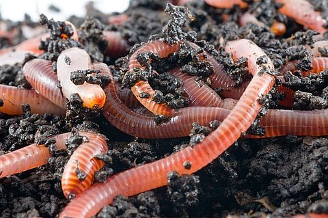 How to Raise Red Worms