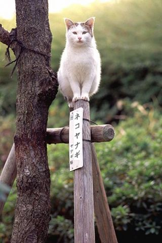 Japanese Joke (Cat Tree) これでいいのだ。