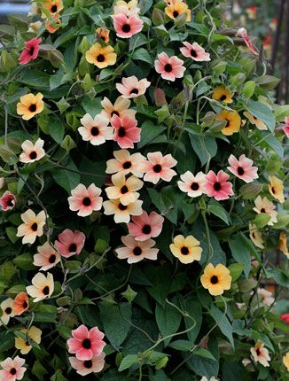 best  climbing flowering vines ideas only on   flower, Natural flower