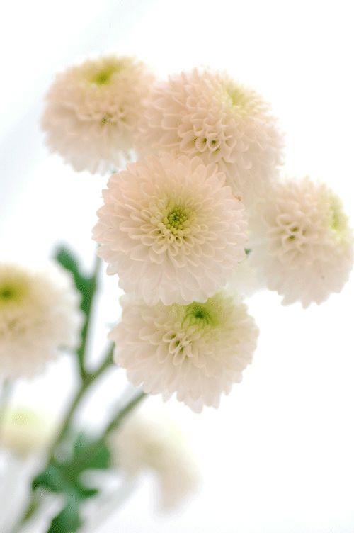 スプレーマム フェリーPON 白http://hanaya87.com/library/flower/flmt408