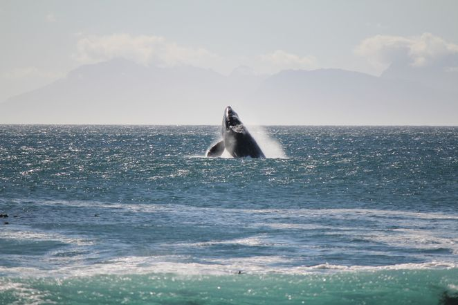 Hermanus Whales playing in the bay