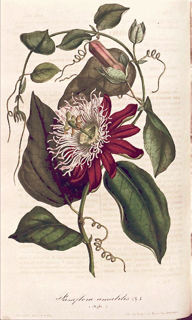 White-crowned passion flower (1847) | From our collection of…