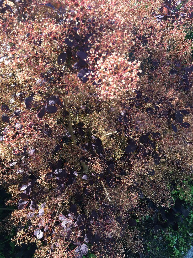 Cotinus coggygria 'Grace' - perukbuske