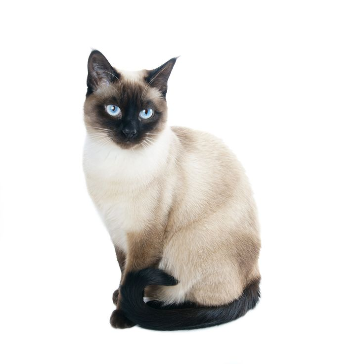 The Top 10 Smartest Cat Breeds: 4. Siamese Cats are loud, and they're happiest when you chat with them. The Siamese is glad to follow you around and watch what you're up to with an inquisitive eye, all the while being social and talkative.