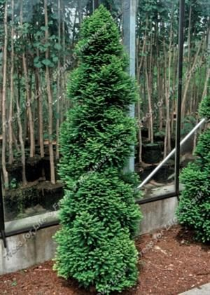 206 best evergreens for small yards images on pinterest for Small sized evergreen trees