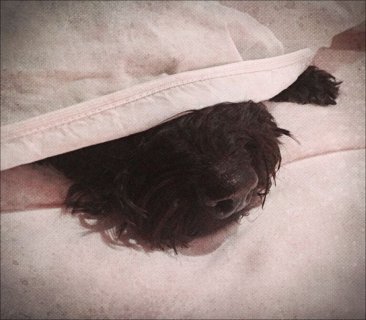 Under the sheets! #dogs #pets #animals