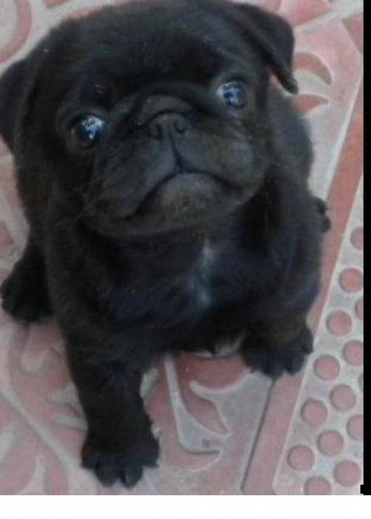 Learn Additional Info On Black Pug Have A Look At Our Website