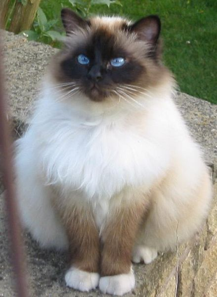 I think Birman cats are so beautiful. They have such white feet!