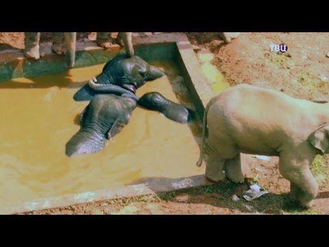 ✔Спасение животных Семья слонов не могла выбраться из бассейна