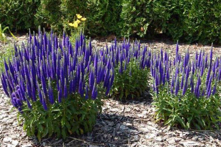 Przetacznik Klosowy Nana Blauteppich Veronica Spicata Garden Design Pictures Flower Garden Aquaponic Gardening