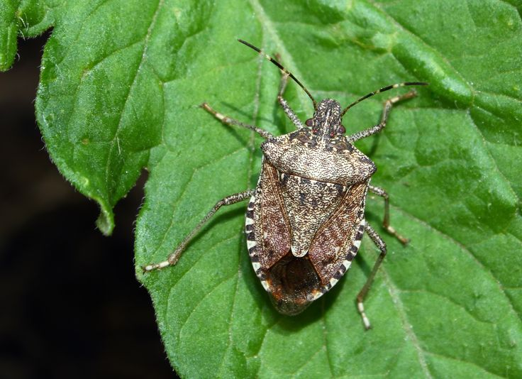 How to Get Rid of Stinkbugs