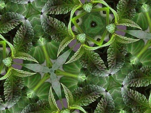 Salvia divinorum kaleidoscope