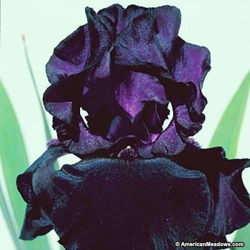 Almost Black Bearded Iris Black Dragon, Iris germanica, Bearded Iris or German Iris