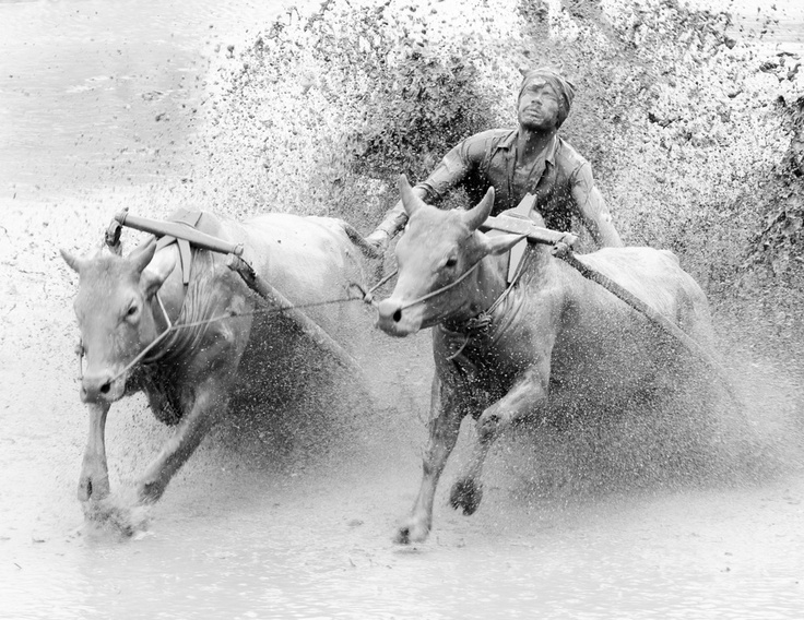 Pacu Jawi or Cow Race in West Sumatra, Indonesia