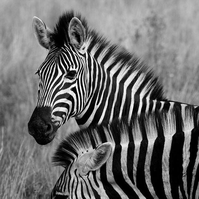Kruger National Park... Amazing animals and nature. #krugernationalpark #kruger #nelspruit #zebra #wildlife