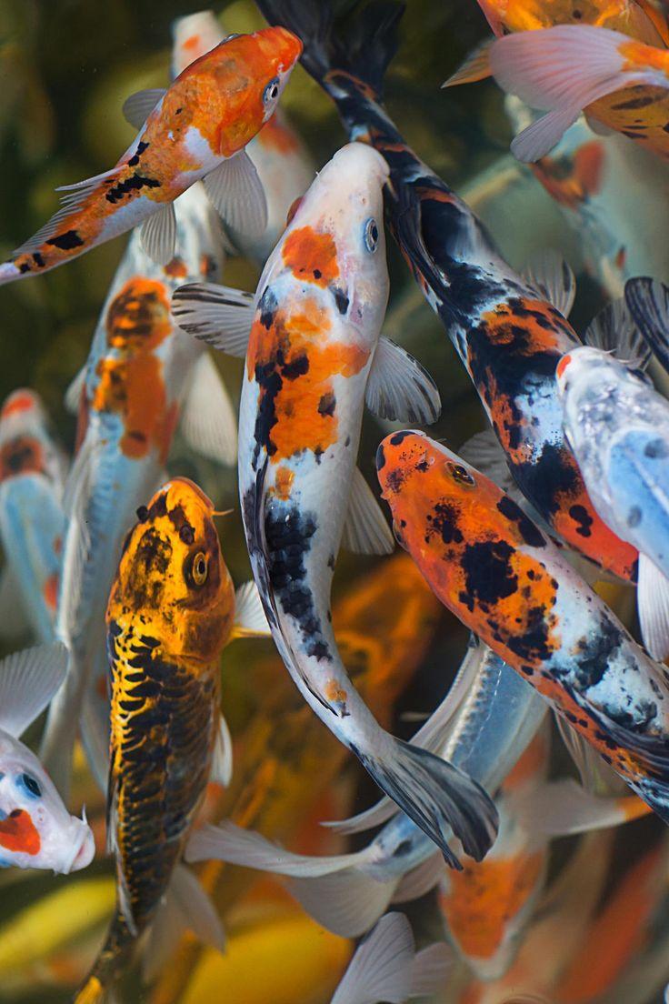 186 best koi images on pinterest koi carp koi ponds and for Big koi fish