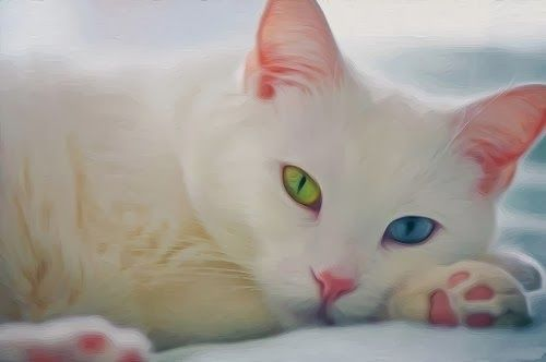 Khao Manee cat The Khao Manee cat is a rare breed that originated in Thailand and is known for its white coat and typically different-colored eyes