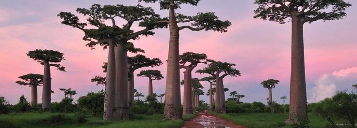 Boabab avenue in Madagascar