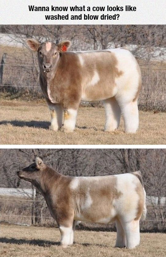 There's Just So Much Fluffiness #lol #haha #funny