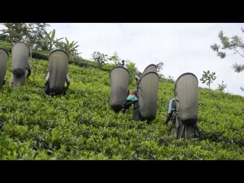 Dilmah Tea Estate - Queensbury