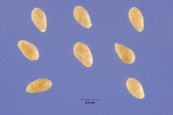 Imagini pentru graines artemisia annua