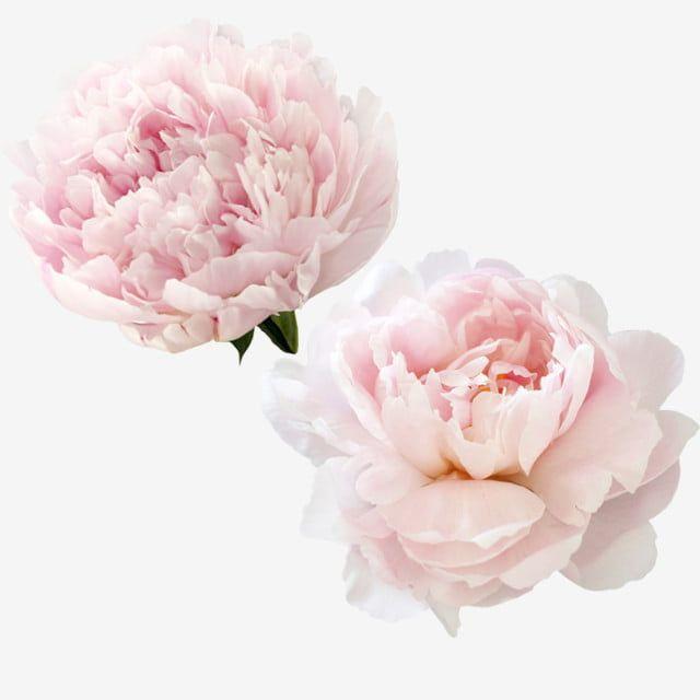 زهور الفاوانيا الوردية الجميلة الفاوانيا البيضاء زهور صغيرة طازجة Png وملف Psd للتحميل مجانا Photoshop Flowers Flower Png Images Pink Watercolor Flower